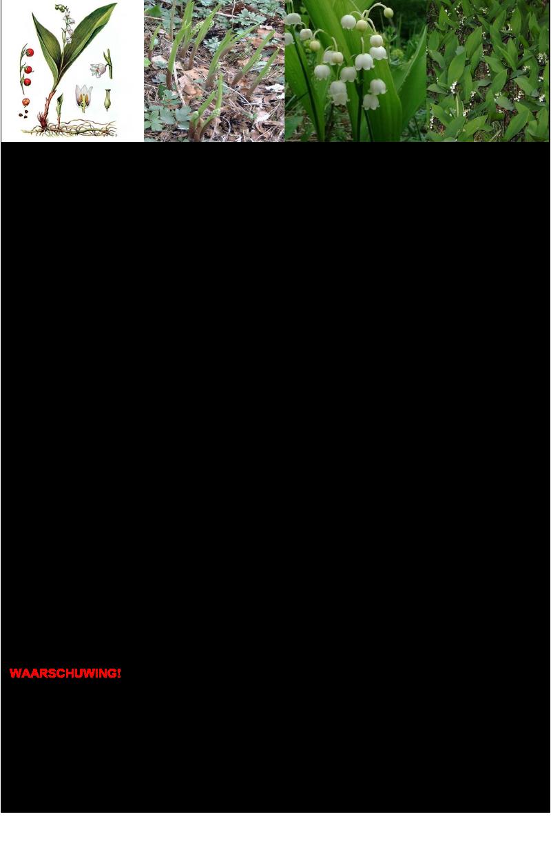 Lelietje-der-dalen.rev.LL.2016.vs1a
