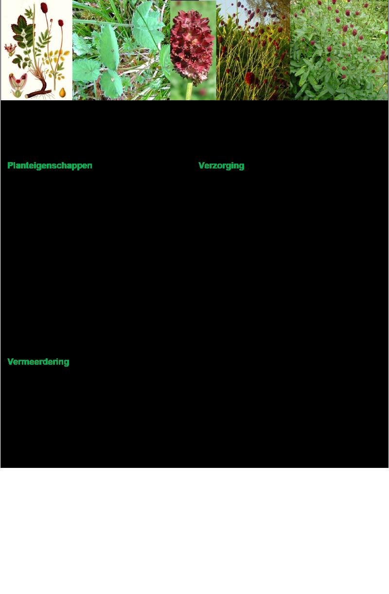 Pimpernel (grote).rev.LL.2016.vs1a