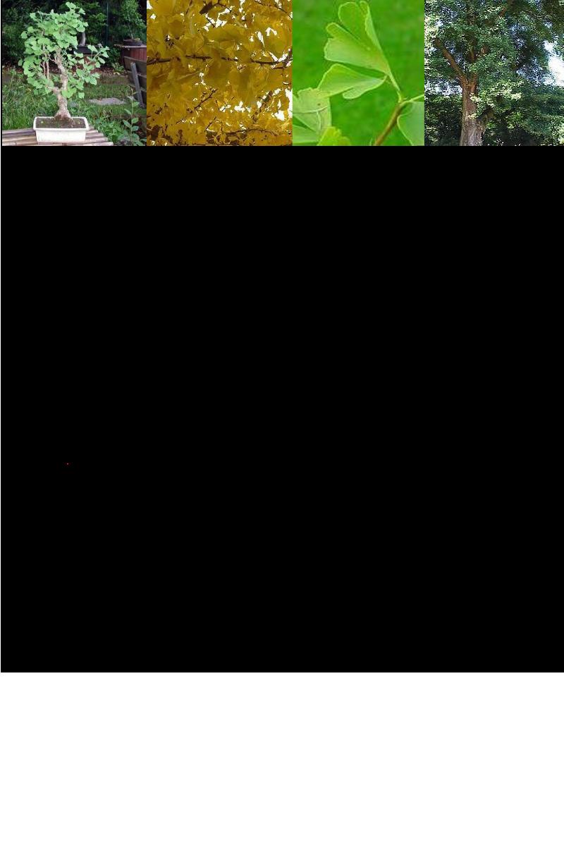 Japanse Notenboom.rev.LL.2016.vs1a