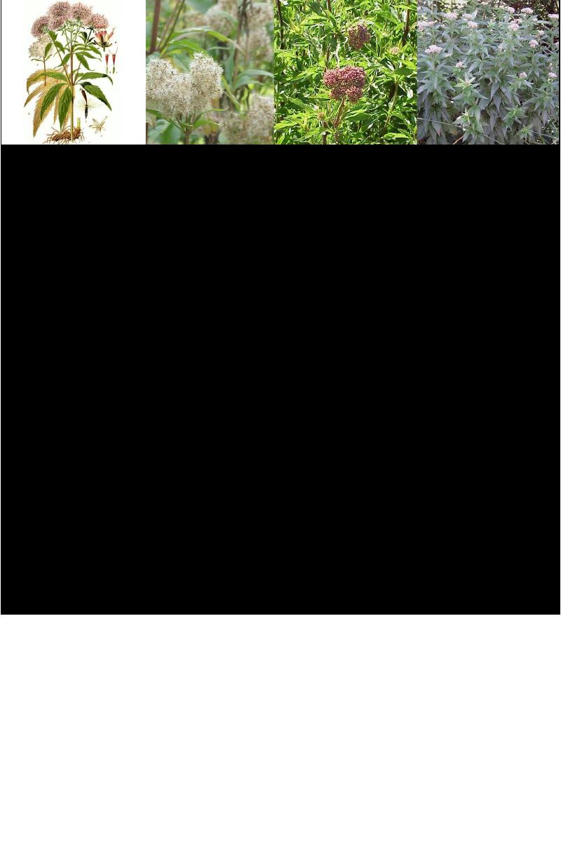 Leverkruid - koninginnenkruid .rev.LL.2016.vs1a