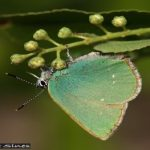 Groentje boomblauwtje