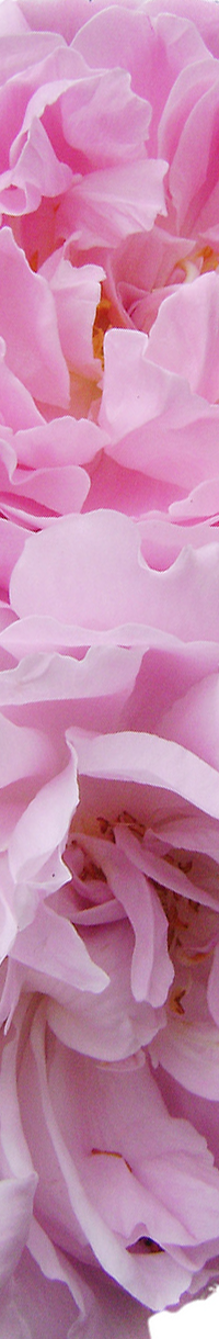 Rosa centifolia.rev.LL.2016 2_afbzij