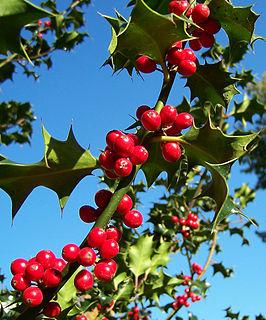 Ilex-aquifolium (Europaeische Stechpalme)-2.jpg