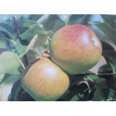 Malus Domestica Benoni - appel