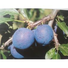 Prunus Bleue de Belgique - pruim