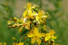 Saint johns wart flowers.jpg